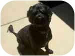 Portuguese Water Dog Puppy for adoption in Sacramento, California - Ranger,awesome guy