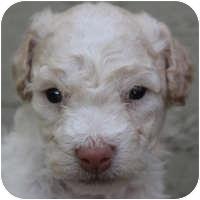 Bichon Frise Mix Puppy for adoption in La Costa, California - Cameron