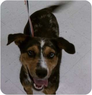 Cattle Dog/Labrador Retriever Mix Dog for adoption in Corpus Christi, Texas - Deogee