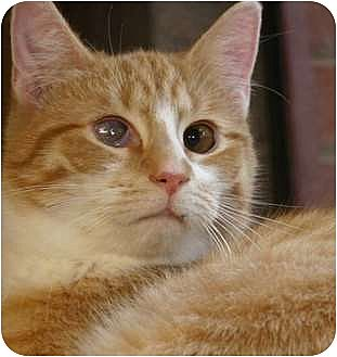 Domestic Shorthair Cat for adoption in Winston-Salem, North Carolina - John Deere