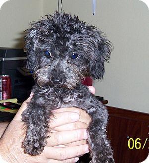 Poodle (Toy or Tea Cup) Dog for adoption in Washburn, Missouri - Jasper