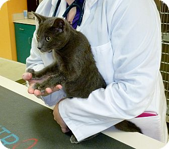 Russian Blue Kitten for adoption in North Wilkesboro, North Carolina - Nosey
