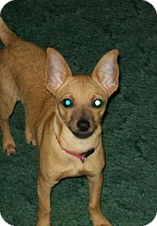Chihuahua Dog for adoption in Lancaster, Kentucky - Sophie