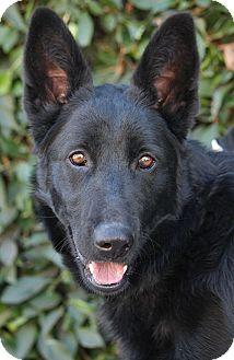 German Shepherd Dog Mix Dog for adoption in Los Angeles, California - Rio von Rerik
