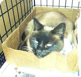 Siamese Cat for adoption in Whitestone, New York - Twila