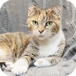 Domestic Shorthair Cat for adoption in Wheaton, Illinois - Princess Fiona