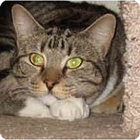 Domestic Shorthair Cat for adoption in Scottsdale, Arizona - Margay