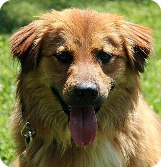 Golden Retriever/Nova Scotia Duck-Tolling Retriever Mix Dog for adoption in Hagerstown, Maryland - Gavan