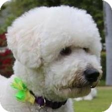 Bichon Frise Mix Dog for adoption in La Costa, California - Murphy