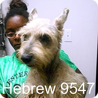 Schnauzer (Miniature) Dog for adoption in Manassas, Virginia - Hebrew