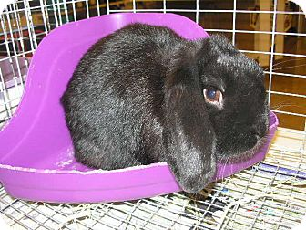 Lop, Holland Mix for adoption in Colorado Springs, Colorado - Desi