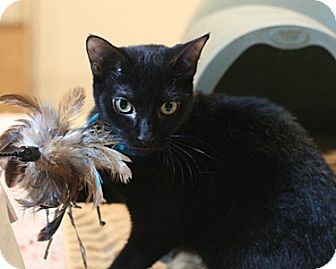 Domestic Shorthair Cat for adoption in Columbia, Maryland - Sadie