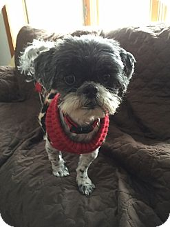 Shih Tzu Dog for adoption in Eden Prairie, Minnesota - HAROLD