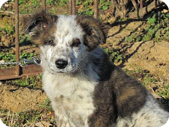 Australian Cattle Dog Mix Puppy for adoption in Newburgh, New York - ZANE