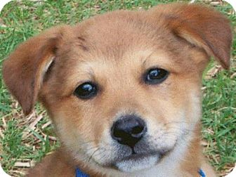 Shepherd (Unknown Type)/Chow Chow Mix Puppy for adoption in Cary, North Carolina - Reilly--ADOPTED