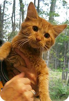 Domestic Mediumhair Kitten for adoption in Cheboygan, Michigan - Nala