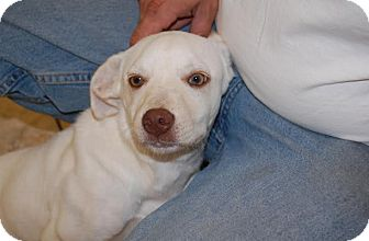 Labrador Retriever/Golden Retriever Mix Puppy for adoption in Hainesville, Illinois - Karisma
