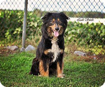 Australian Shepherd/Collie Mix Dog for adoption in Greenville, Kentucky - Tallie