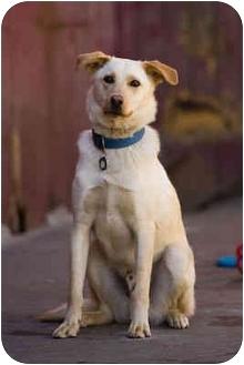 Labrador Retriever/Border Collie Mix Dog for adoption in Portland, Oregon - Jibby