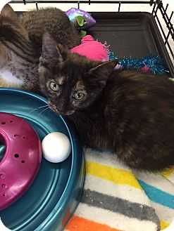Domestic Mediumhair Kitten for adoption in Mansfield, Texas - Pia