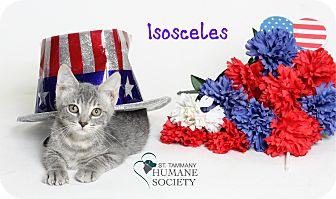 Domestic Shorthair Kitten for adoption in Covington, Louisiana - Isosceles