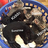 American Shorthair Kitten for adoption in Malvern, Arkansas - kittens and more kittens