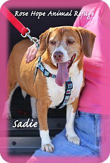 Beagle Dog for adoption in Waterbury, Connecticut - Sadie