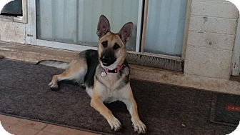 German Shepherd Dog Dog for adoption in Peoria, Arizona - Emma