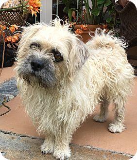 Affenpinscher/Shih Tzu Mix Dog for adoption in Santa Ana, California - Elwood