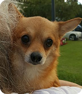 Chihuahua/Pomeranian Mix Dog for adoption in Mount Pleasant, South Carolina - Taco