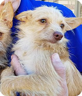Terrier (Unknown Type, Small) Mix Puppy for adoption in Houston, Texas - Wrigley