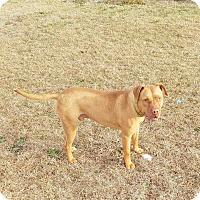 Adopt A Pet :: Bo - Greenville, NC
