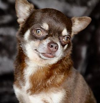 Chihuahua Dog for adoption in Picayune, Mississippi - COURTESY POST- Roan