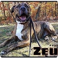 Adopt A Pet :: Zeus - Jackson, NJ