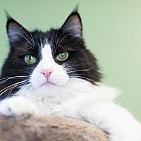 Domestic Mediumhair Cat for adoption in Auburn, California - Gigi