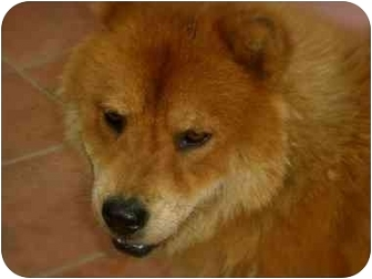 Chow Chow Mix Dog for adoption in kennebunkport, Maine - Chi Chi-pending
