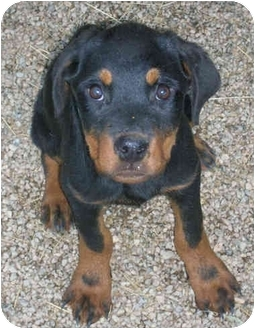 Rottweiler Puppy for adoption in Los Angeles, California - Lil Bits