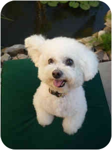 Bichon Frise Mix Dog for adoption in La Costa, California - Chloe