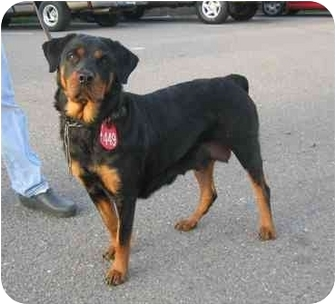 Rottweiler Dog for adoption in Tracy, California - Hanna
