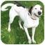Photo 1 - Plott Hound Mix Dog for adoption in Battleground, Indiana - Waylon