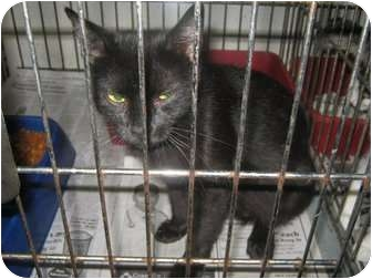 Domestic Shorthair Cat for adoption in Henderson, North Carolina - Kitty Boo