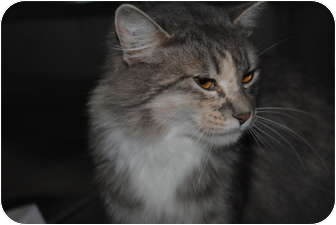 Domestic Longhair Cat for adoption in Yuba City, California - Unknown Age