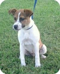 Terrier (Unknown Type, Medium) Mix Puppy for adoption in Remlap, Alabama - Brice