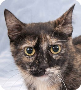 Domestic Shorthair Cat for adoption in Chicago, Illinois - Rockwell