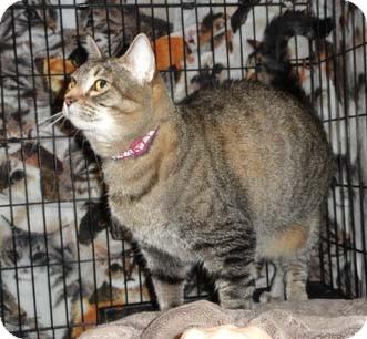 Domestic Shorthair Cat for adoption in Merrifield, Virginia - Onyx