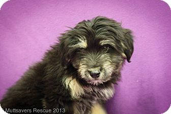 Shepherd (Unknown Type)/Terrier (Unknown Type, Medium) Mix Puppy for adoption in Broomfield, Colorado - Grits