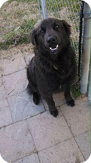 Retriever (Unknown Type)/Labrador Retriever Mix Dog for adoption in Arkadelphia, Arkansas - Bear