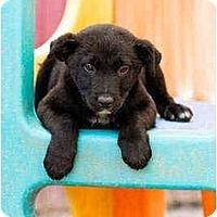 Adopt A Pet :: Nash - Portland, OR