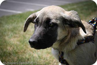 Anatolian Shepherd Mix Puppy for adoption in Broomfield, Colorado - Tatum