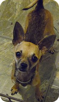 Chihuahua Dog for adoption in Houston, Texas - MYA